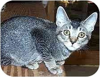 Domestic Shorthair Cat for adoption in Clovis, New Mexico - Erin