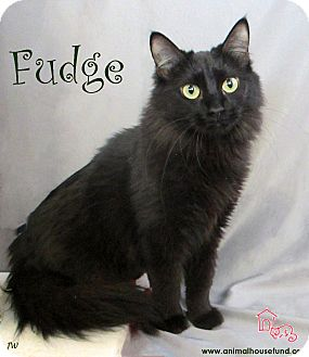 Domestic Longhair Cat for adoption in St Louis, Missouri - Fudge