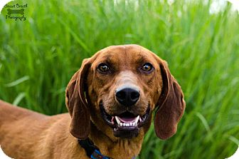 Redbone Coonhound Mix Dog for Sale in Howell, Michigan - Red