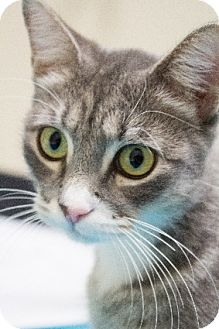 Domestic Shorthair Cat for Sale in Chicago, Illinois - Pookie