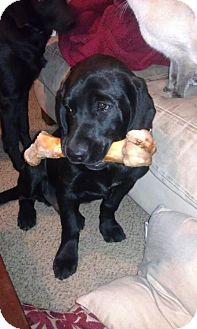 Labrador Retriever Mix Puppy for Sale in Rochester, Michigan - Tucker