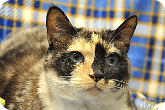 Siamese Cat for Sale in Foothill Ranch, California - Pixie