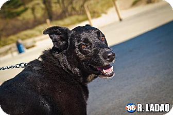 Labrador Retriever Mix Dog for adption in Schererville, Indiana - Winston