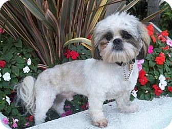 Lhasa Apso/Shih Tzu Mix Dog for adption in Los Angeles, California - WEMBLEY