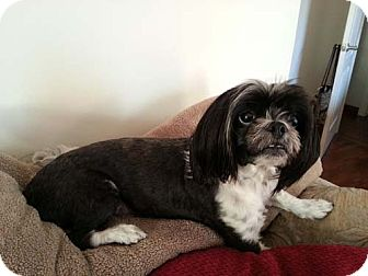 Lhasa Apso/Shih Tzu Mix Dog for adption in Los Angeles, California - FELIX