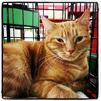 Domestic Shorthair Cat for adoption in Great Mills, Maryland - Rosalie