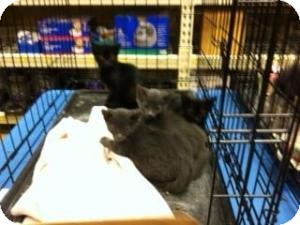 Russian Blue Kitten for adoption in Cranford/Rartian, New Jersey - Ringo