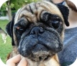 Pug Dog for adption in Austin, Texas - Eileen