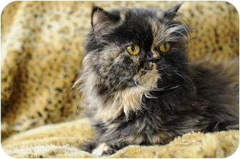 Persian Cat for Sale in Columbus, Ohio - Lady Joy