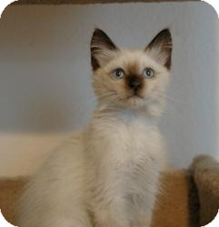 Siamese Cat for Sale in Sacramento, California - Panda