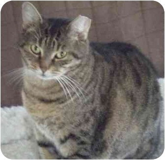 Domestic Shorthair Cat for adoption in Kensington, Maryland - Savannah