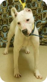 American Pit Bull Terrier Mix Dog for Sale in Gary, Indiana - Maliea