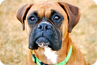 Boxer Mix Dog for Sale in Meridian, Idaho - Tanzi