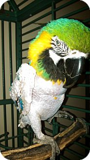 Macaw for adoption in Tampa, Florida - Bailey