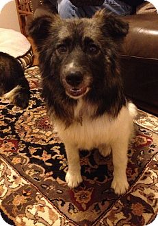 Norwegian Elkhound/Australian Shepherd Mix Dog for adption in STERLING HEIGHTS, Michigan - Roxy