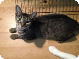 Domestic Shorthair Cat for adoption in Fort Lauderdale, Florida - Jess