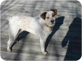 Ellijay, GA - Australian Shepherd/Jack Russell Terrier Mix. Meet Scamp ...