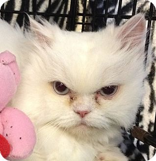 Persian Cat for Sale in Beverly Hills, California - Ava