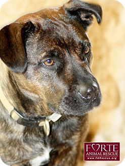 Boxer/Dutch Shepherd Mix Dog for adption in Marina del Rey, California - Boots
