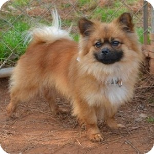 Pomeranian Mix Dog for Sale in Athens, Georgia - Hobson