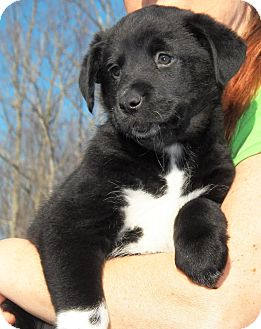 Husky/Labrador Retriever Mix Puppy for Sale in Sussex, New Jersey - Tess