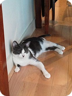 American Shorthair Cat for adoption in Brooklyn, New York - Cowbelle