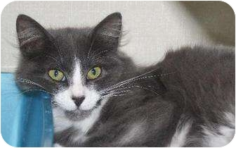 Domestic Mediumhair Cat for adoption in Fort Collins, Colorado - Neicy