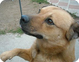 Shepherd (Unknown Type)/Golden Retriever Mix Dog for Sale in Van Nuys, California - *URGENT* Rocky
