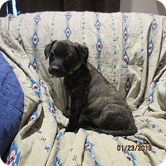 Retriever (Unknown Type)/Catahoula Leopard Dog Mix Puppy for Sale in Westminster, Colorado - Cherry