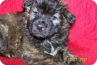 German Shepherd Dog/Boxer Mix Puppy for Sale in Sherman, Connecticut - Vada Betty's Dog