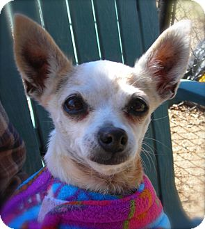 Chihuahua Dog for Sale in El Cajon, California - Gypsy