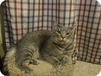 Domestic Shorthair Kitten for adoption in Richland, Michigan - Gary