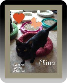 Domestic Shorthair Cat for Sale in Mobile, Alabama - China