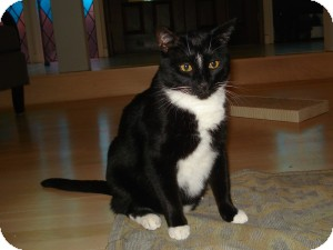 Domestic Shorthair Cat for adoption in Cranford/Rartian, New Jersey - Theo
