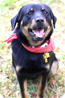 Rottweiler/Shepherd (Unknown Type) Mix Puppy for adption in hollywood, Florida - Rembrandt
