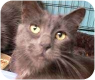Domestic Mediumhair Cat for adoption in Putnam Valley, New York - Patty