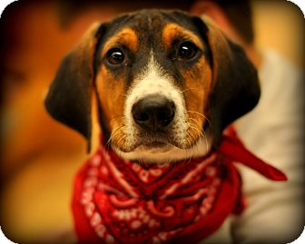 Treeing Walker Coonhound/Beagle Mix Puppy for Sale in Sparta, New Jersey - Tic Tac