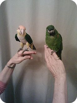 Caique for Sale in Tampa, Florida - Audrey & Augie