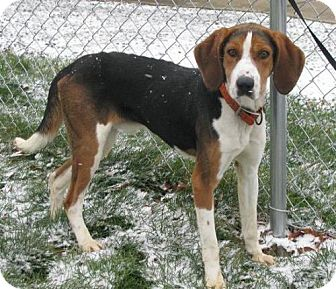 Treeing Walker Coonhound Mix Dog for adption in Lisbon, Ohio - Walker Texas Ranger