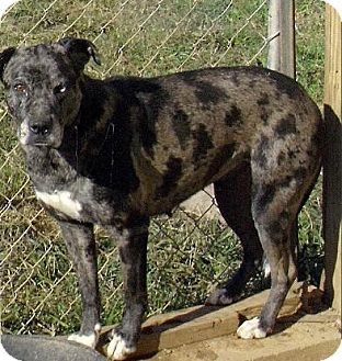 Australian Shepherd/Catahoula Leopard Dog Mix Dog for adption in Moulton, Alabama - Autumn