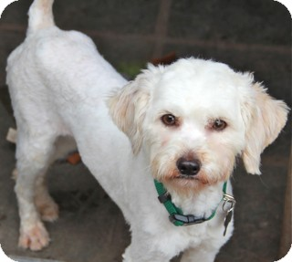 Cockapoo/Maltese Mix Dog for Sale in Norwalk, Connecticut - Ellis - adoption pending