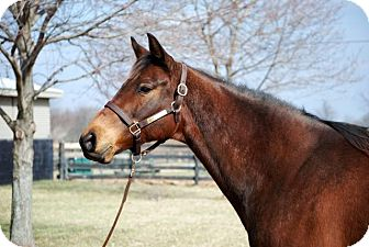 Thoroughbred for adoption in Nicholasville, Kentucky - Happy