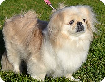 Pekingese Mix Dog for adption in Simi Valley, California - Sugar