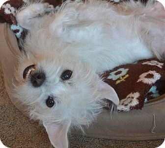 Maltese/Westie, West Highland White Terrier Mix Dog for Sale in Los Angeles, California - Chloe
