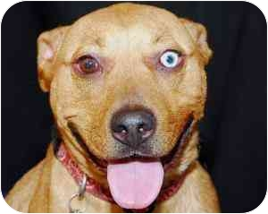 Rhodesian Ridgeback/American Staffordshire Terrier Mix Dog for adption in Van Nuys, California - Bloo