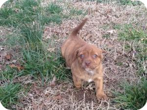Pug/Terrier (Unknown Type, Small) Mix Puppy for Sale in Russellville, Kentucky - Maggie