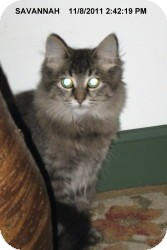 Domestic Longhair Cat for adoption in Brainardsville, New York - SAVANNAH