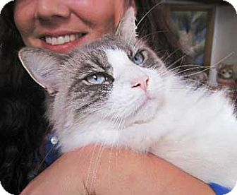 Ragdoll Cat for Sale in Vacaville, California - Lucas