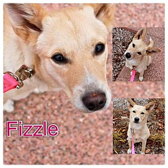 Carolina Dog/Feist Mix Puppy for Sale in Westland, Michigan - Fizzle