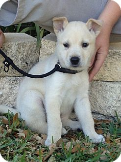 Hound (Unknown Type)/Husky Mix Puppy for Sale in Oldsmar, Florida - Orion